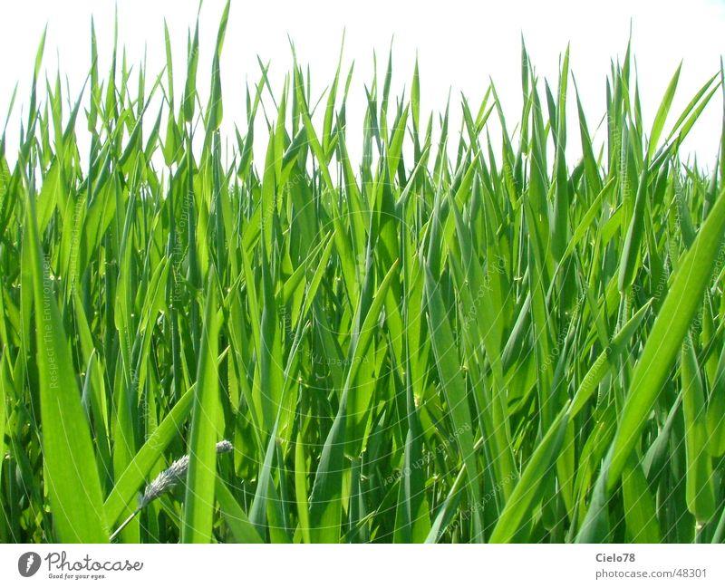 Grass Feld grün Schilfrohr Blatt Stengel grass Natur Rasen