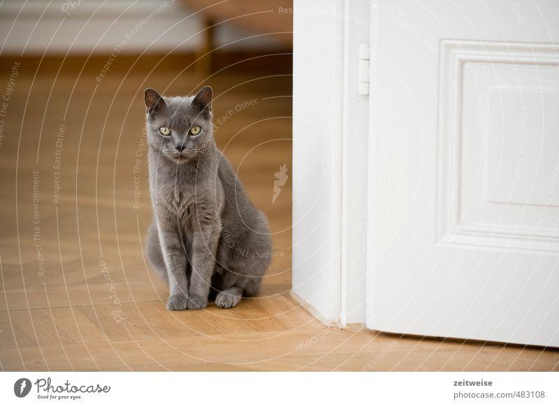 Hier wohne ICH! Tier Haustier Katze Tiergesicht Fell Pfote 1 Holz sitzen elegant schön kuschlig niedlich grau weiß Wachsamkeit Parkett Tür Türschwelle