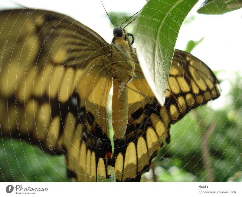 Edelfalter Schmetterling Pflanze gelb schwarz Nahaufnahme fliegen Makroaufnahme fly