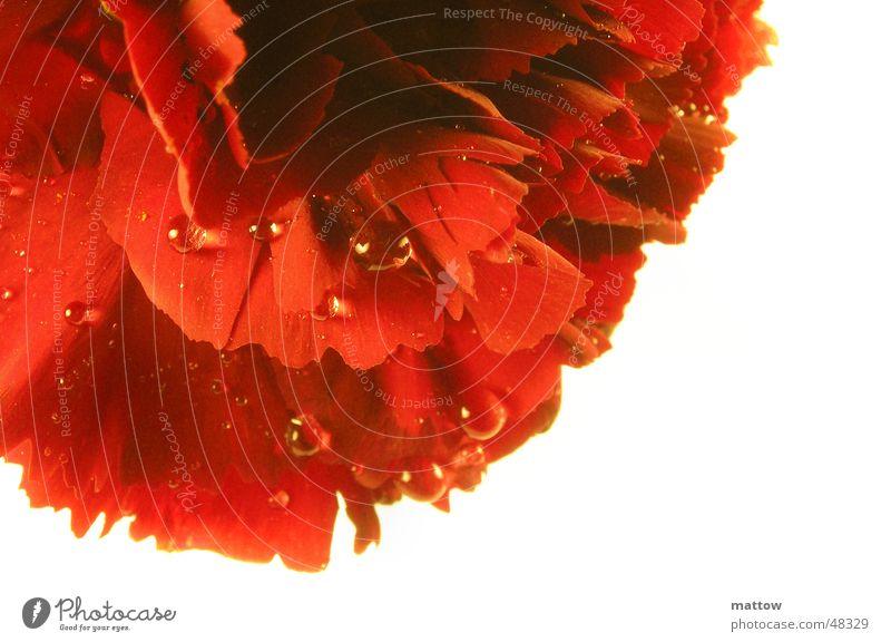 Rosentau 2 Natur Wasser weiß Blume Pflanze rot Blatt Blüte Hintergrundbild Wassertropfen Rose Valentinstag