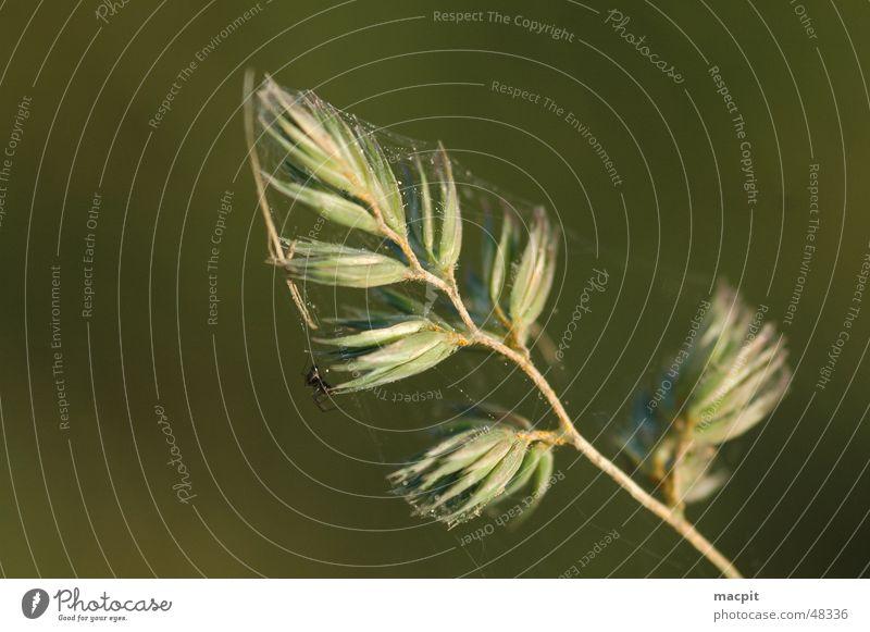 Gefangen im Netz... Spinne Gras Natur