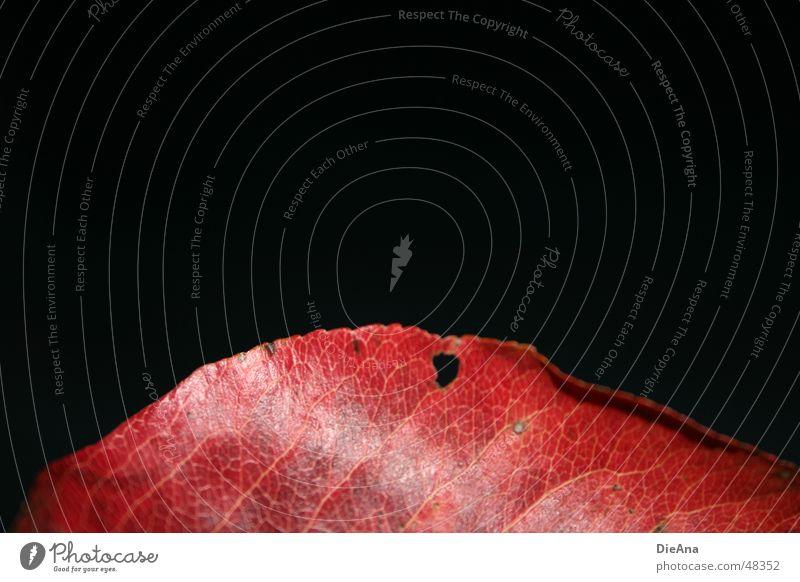 nichts dahinter rot Blatt schwarz Herbst glänzend Wandel & Veränderung fallen Loch Anschnitt Gefäße Färbung