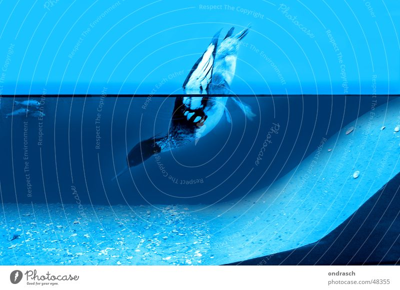 Geflügel Blau Wasser Meer kalt See Vogel Schwimmen & Baden nass frisch tauchen feucht Ente Teich zyan Versteck Vogelgrippe Tauchente