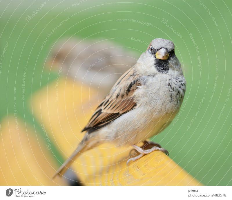 Spatz Umwelt Natur Tier Sommer Schönes Wetter Wildtier Vogel 1 braun grün sitzen Blick in die Kamera Farbfoto Außenaufnahme Menschenleer Textfreiraum oben
