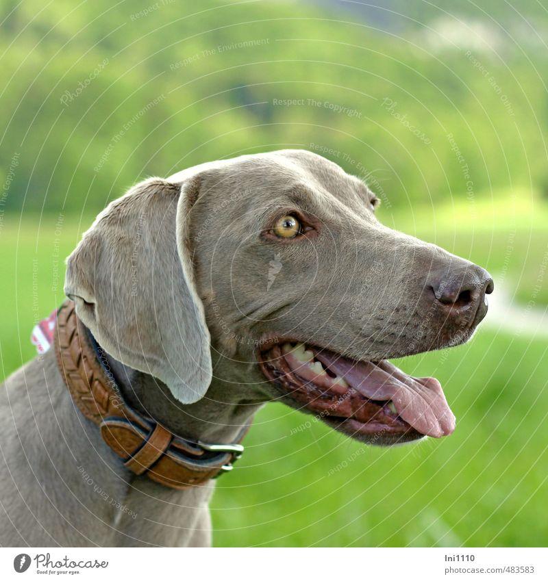 Tia Hund schön Tier Freude Leben grau außergewöhnlich braun Freundschaft leuchten Kraft Fröhlichkeit ästhetisch warten Lebensfreude beobachten