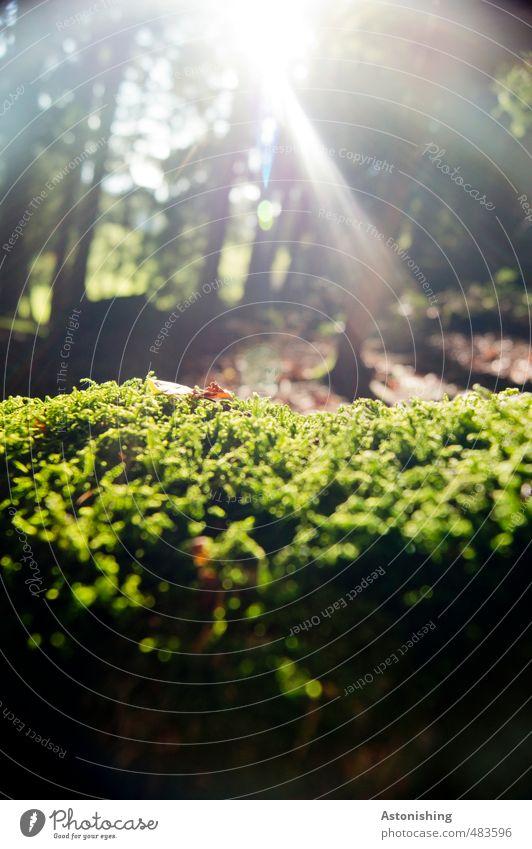 Moos Umwelt Natur Landschaft Pflanze Erde Sonne Sonnenlicht Herbst Wetter Schönes Wetter Wärme Baum Blatt Grünpflanze Wald Wachstum hell grün Baumstamm