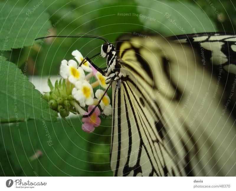 Schmetterling beim Frühstück Blume Pflanze grün schwarz weiß lecker Nahaufnahme Tier Insekt Makroaufnahme fliegen fly eat Ernährung animal