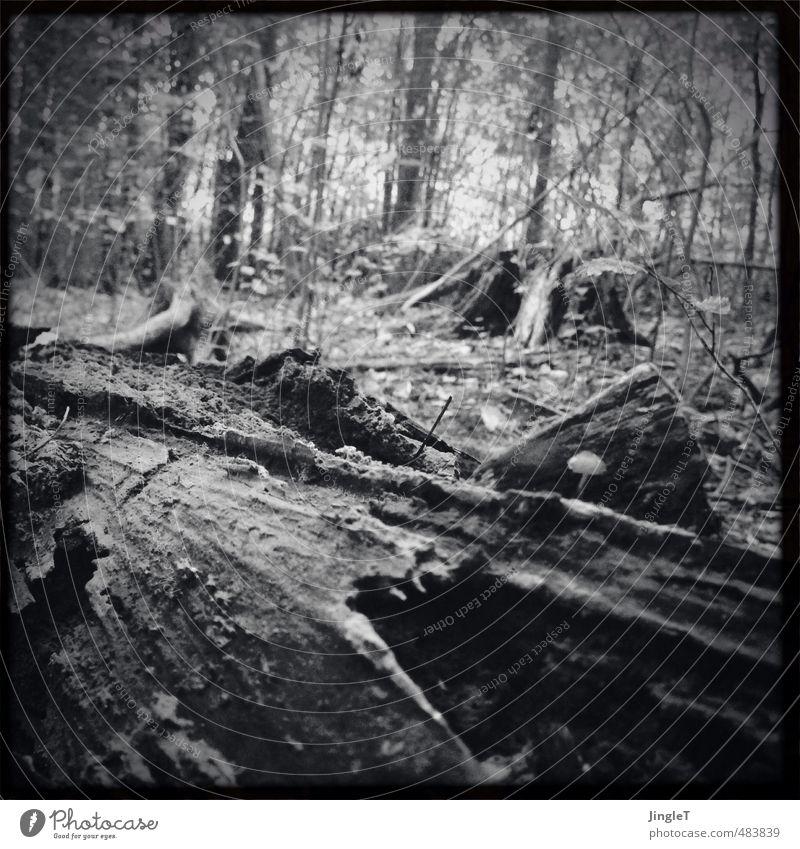 holzweg Umwelt Natur Landschaft Herbst Baum Wald liegen alt schwarz weiß Schutz Verfall Vergänglichkeit Schwarzweißfoto Außenaufnahme Menschenleer
