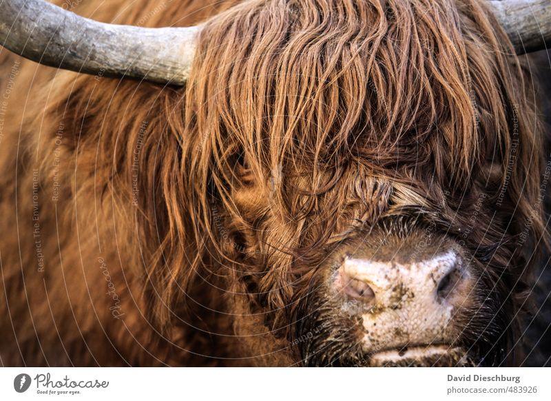 Scotish beef Ferien & Urlaub & Reisen weiß Tier schwarz gelb braun orange Landwirtschaft Fell Tiergesicht Bioprodukte langhaarig feucht Horn