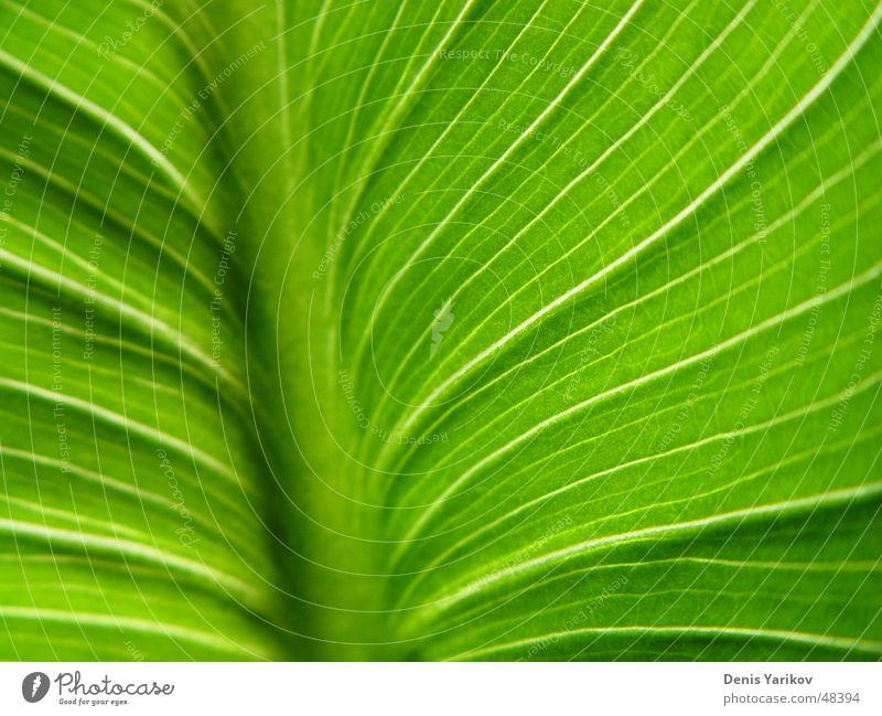 green manstera's leaf (macro) Natur grün Pflanze Sommer Blatt