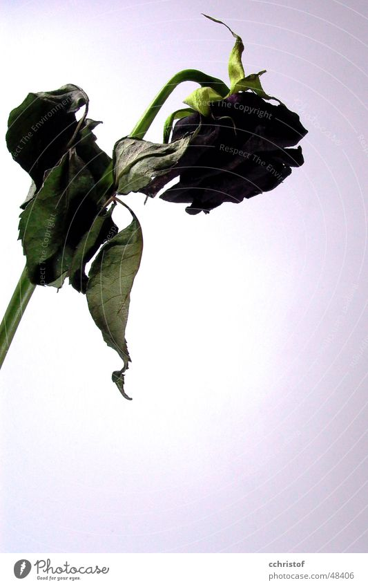 tote Rose alt rot schwarz Tod Trauer Rose welk