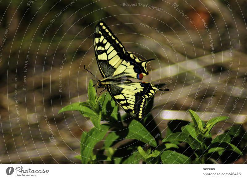 Schmetterling Sommer Natur