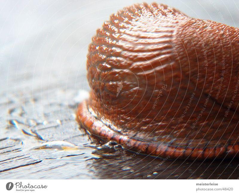 Schnecke 02 Tier Nacktschnecken Makroaufnahme Schleim Außenaufnahme Nahaufnahme macroaufnahme tiefenschärfe gering glibber meisterleise