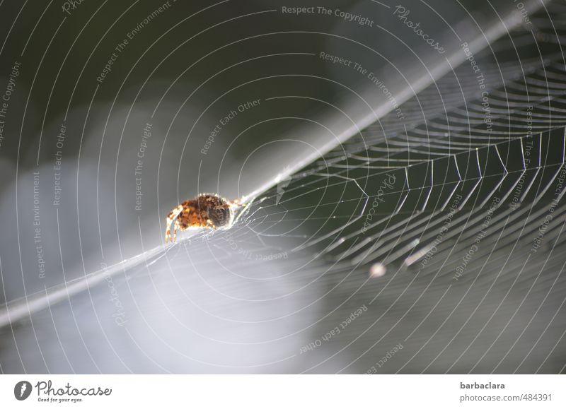 Seiltänzer Natur Luft Himmel Schönes Wetter Spinne Spinnennetz 1 Tier krabbeln außergewöhnlich fantastisch hell grau weiß Sicherheit Überraschung Bewegung