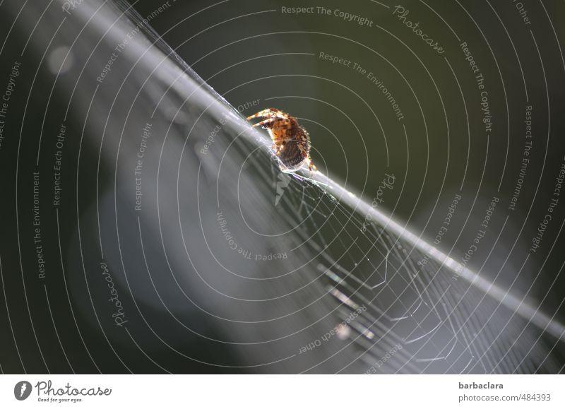 Einzelgänger | Akrobat Natur Luft Sonnenlicht Spinne 1 Tier Linie Streifen Spinnennetz krabbeln klein sportlich weiß Leben Bewegung Zufriedenheit Leichtigkeit