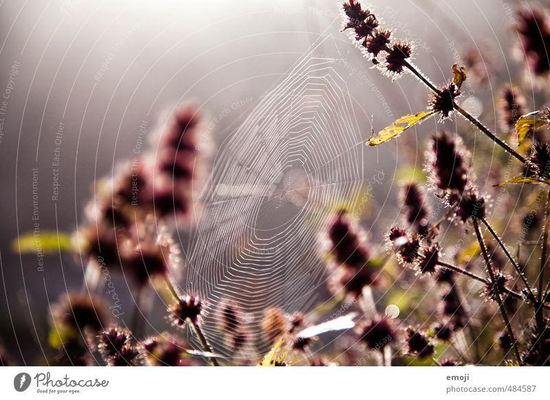 verflixt und zugewebt Natur Pflanze Blume Umwelt Herbst natürlich rosa Spinnennetz