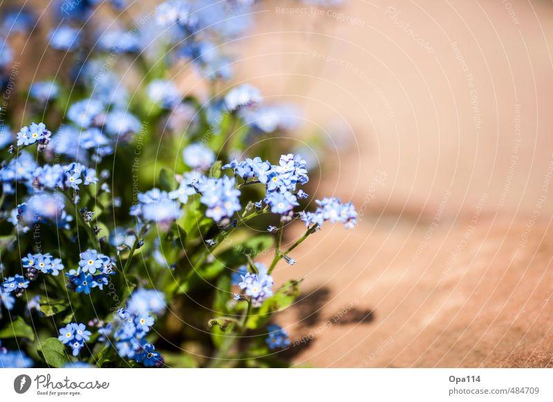 """Blümchen Natur Pflanze Sommer Grünpflanze Topfpflanze Garten Blühend dehydrieren Wachstum blau braun Zufriedenheit """"Blume Blumen Blüte Schönheit Dekoration"""""""