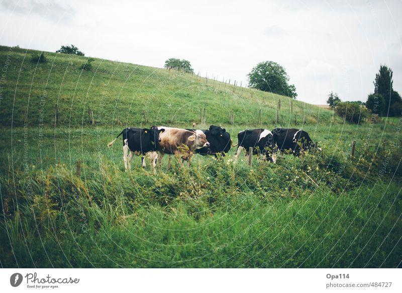 Kühe Natur Pflanze Sommer Landschaft Tier Umwelt Leben Wiese Gras Essen Feld Sträucher Schönes Wetter Tiergruppe Kuh Fressen