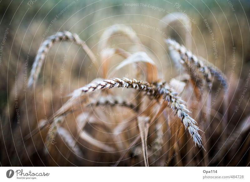 """Weizenähre Umwelt Natur Pflanze Tier Nutzpflanze Feld Blühend Wachstum Reichtum """"Landwirtschaft Wheat Ernte Getreide spitz Korn Sommer Bauer Ähre"""" Farbfoto"""