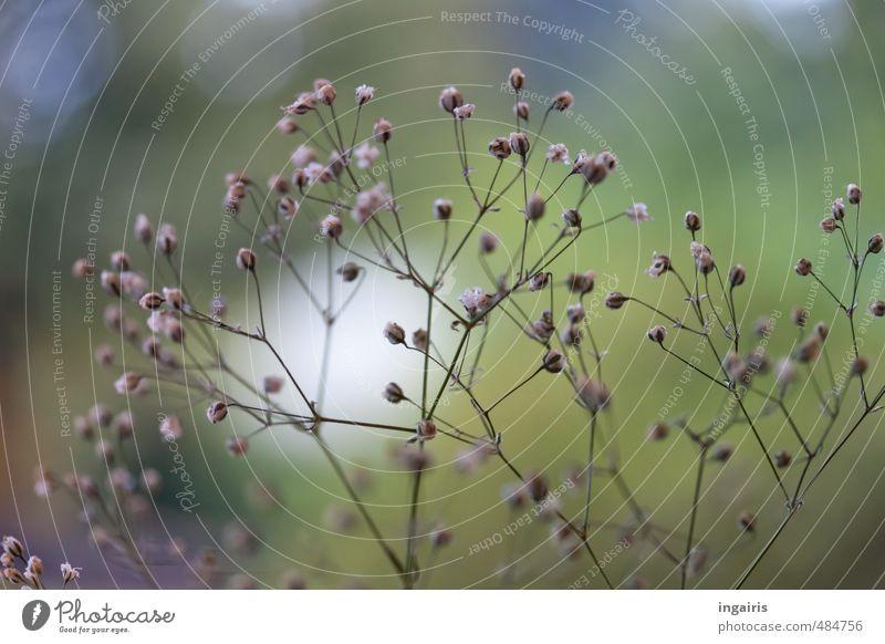 Verschleierung Natur blau grün weiß Pflanze ruhig Traurigkeit Blüte klein natürlich Garten Horizont Wachstum Vergänglichkeit Romantik violett