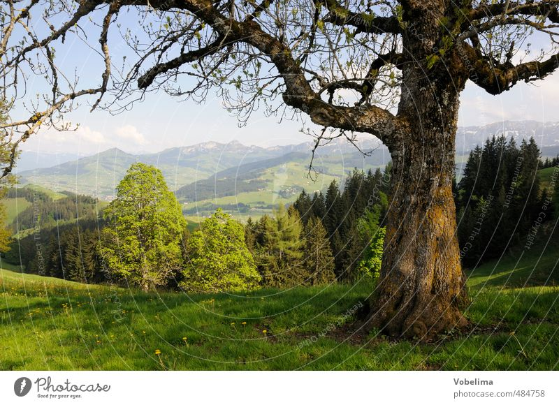 Baum an der Hundwiler Höhi Ausflug Sommer Sommerurlaub Berge u. Gebirge wandern Natur Landschaft Wolkenloser Himmel Schönes Wetter Wald Hügel Alpen Gipfel