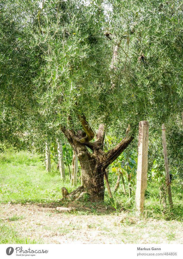 Olivenbäume in Italien Ferien & Urlaub & Reisen Sommer Natur Pflanze Schönes Wetter Baum Grünpflanze Nutzpflanze ästhetisch schön grün Tourismus Sonnenuntergang