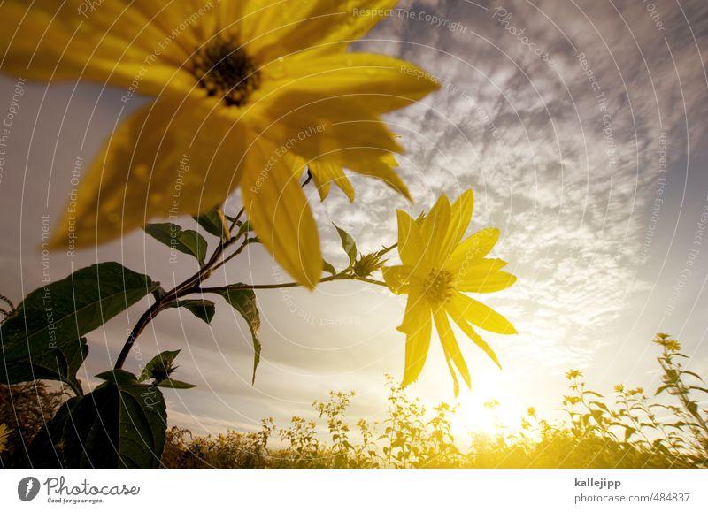 sommerwärme Umwelt Natur Landschaft Pflanze Tier Blume Sträucher Grünpflanze Wildpflanze Feld Blühend Sonnenblume Blüte sommerlich Sommer Farbfoto mehrfarbig