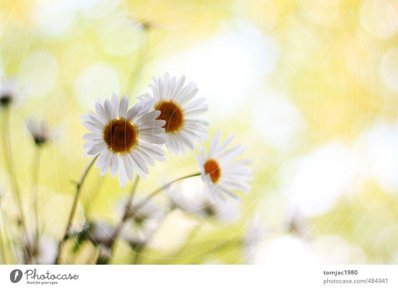Margeriten, Gänseblümchen Natur schön grün weiß Pflanze Blume gelb Wiese Gras Blüte natürlich hell Garten Hintergrundbild glänzend leuchten