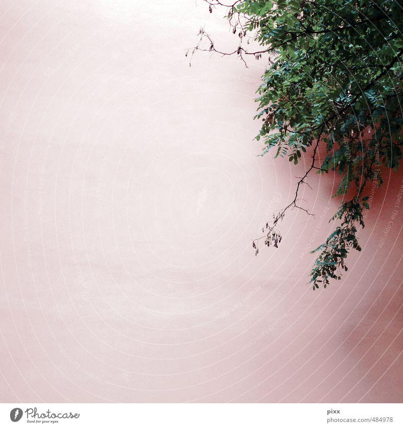 oben rechts Umwelt Natur Pflanze Schönes Wetter Sträucher Blatt Grünpflanze Mauer Wand Fassade hängen Wachstum grün rosa Ranke Putz verputzen Blättchen klein