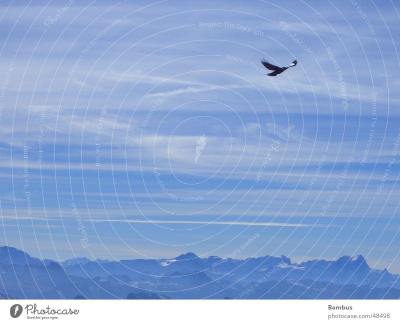 Freiheit Vogel Dohle Wolken fliegen Berge u. Gebirge Alpen blau Himmel