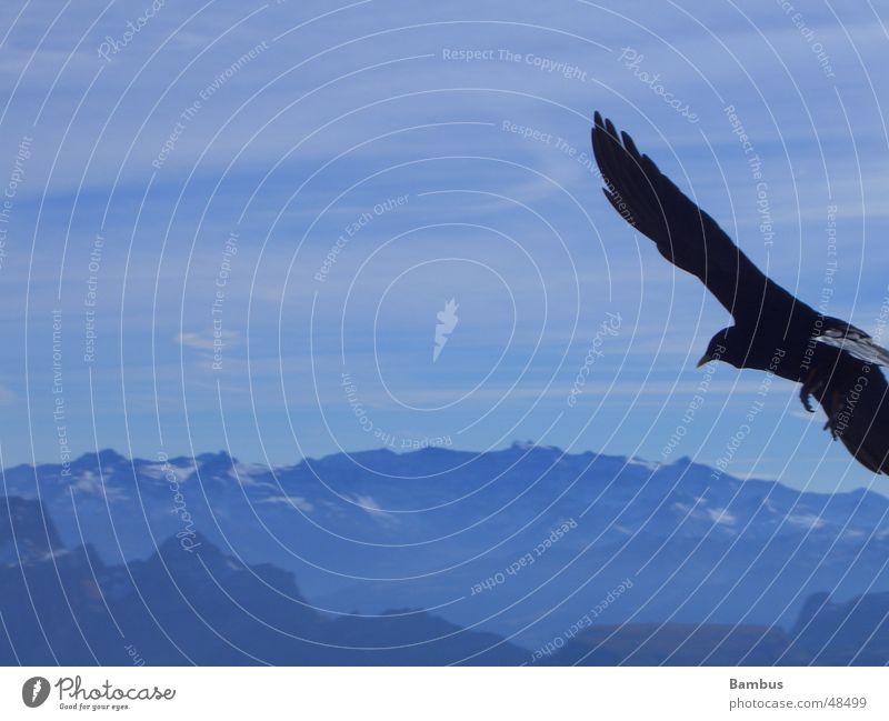 Portrait eines fliegenden Vogels Dohle Schnabel Wolken Flügel Feder Berge u. Gebirge Alpen blau Himmel