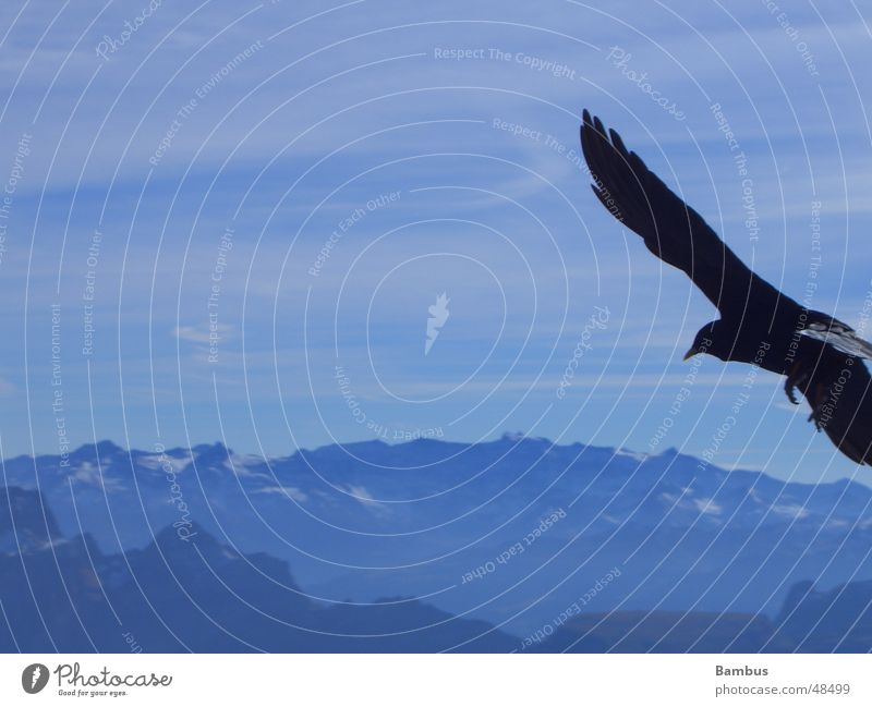 Portrait eines fliegenden Vogels Himmel blau Wolken Berge u. Gebirge Feder Flügel Alpen Schnabel Dohle