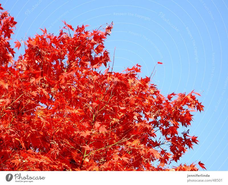 Herbstfarben rot Baum Blatt Farbenspiel blau Himmel Lampe stahlen