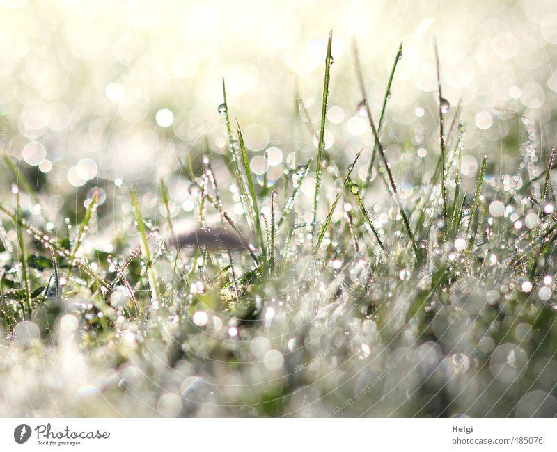800 Glitzertröpfchen... Umwelt Natur Pflanze Herbst Gras Grünpflanze glänzend leuchten stehen Wachstum ästhetisch außergewöhnlich frisch kalt klein grau grün