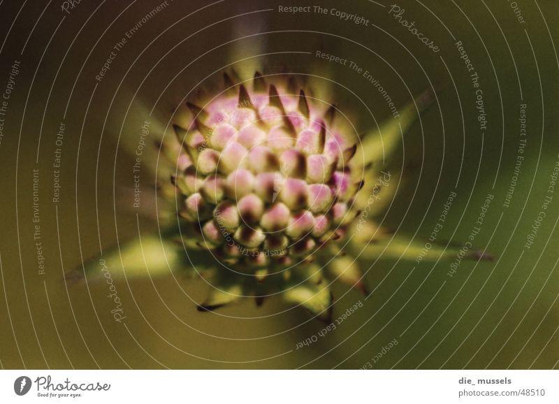 stachelig Blüte grün Pflanze Distel Stachel