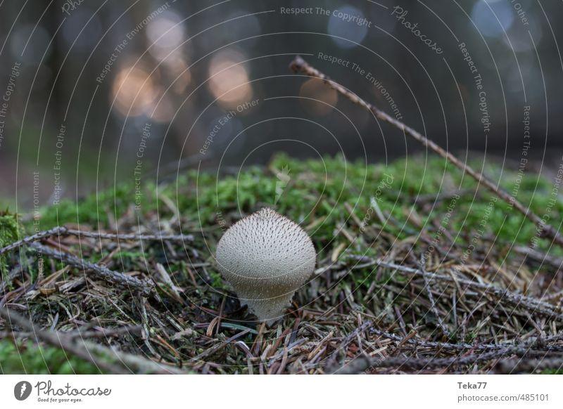 Erstling Umwelt Natur Landschaft Pflanze Moos Wildpflanze Wald ästhetisch Abenteuer Pilz Pilzhut Pilzkopf Waldboden Gedeckte Farben Außenaufnahme Menschenleer