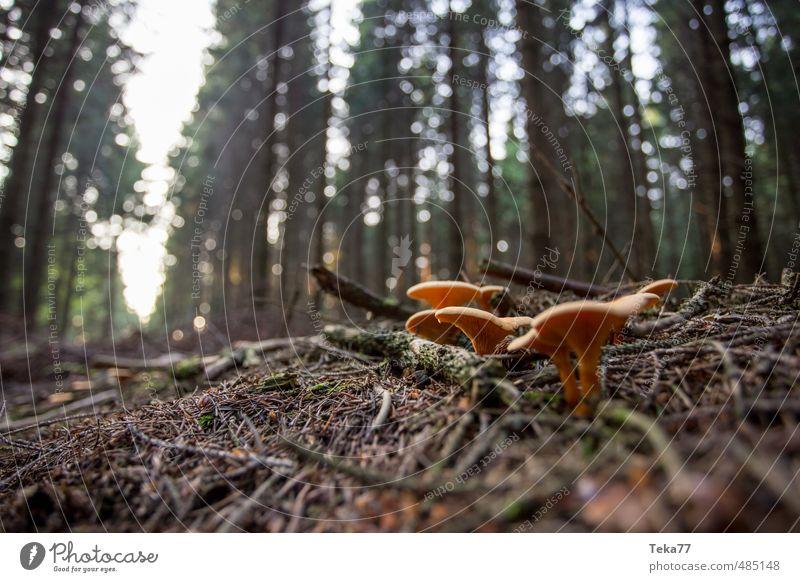 Pilzimperium Umwelt Natur Landschaft Tier Pflanze Baum Sträucher Wildpflanze ästhetisch orange Weitwinkel Waldboden Waldlichtung Gedeckte Farben Nahaufnahme