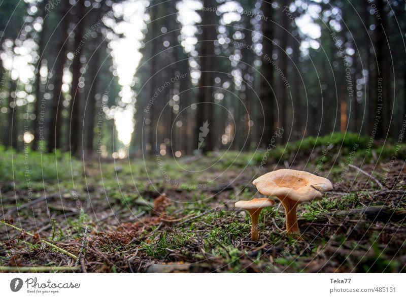 Diese Zwei Umwelt Natur Landschaft Pflanze Wildpflanze Wald Abenteuer ästhetisch Pilz Pilzhut Pilzsucher Waldboden Farbfoto Gedeckte Farben Außenaufnahme