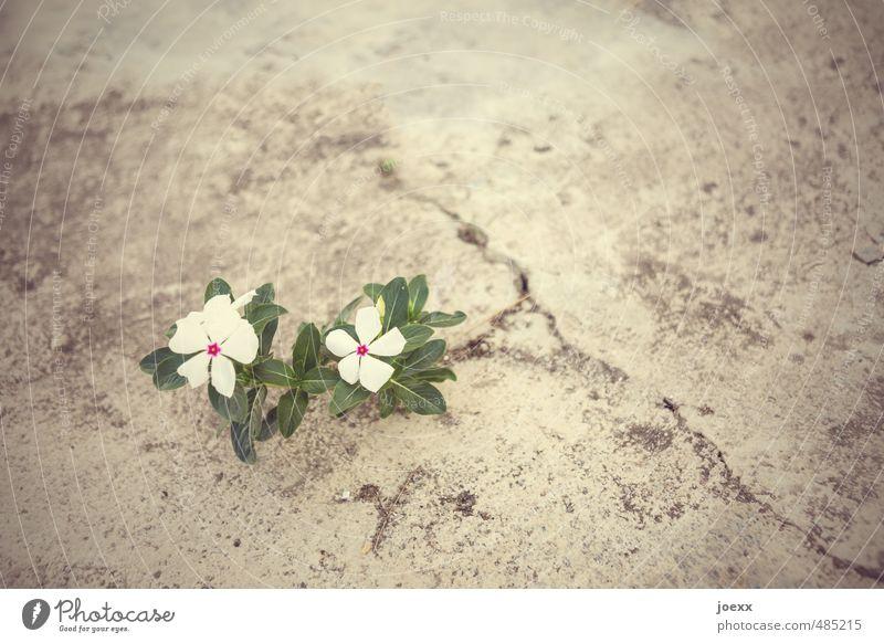 Leben Pflanze Blume Menschenleer einfach einzigartig braun grün weiß Lebensfreude Frühlingsgefühle Kraft Entschlossenheit Farbe Überleben Wachstum Wege & Pfade