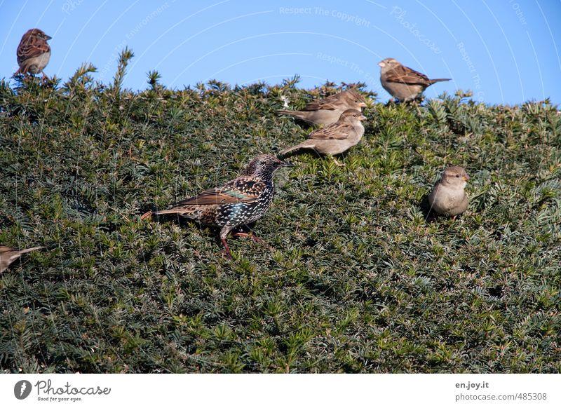 Vögelhecke Natur Tier Himmel Hecke Nadelbaum Wildtier Vogel Spatz Tiergruppe blau braun grün Lebensfreude Frühlingsgefühle Leichtigkeit Farbfoto Außenaufnahme