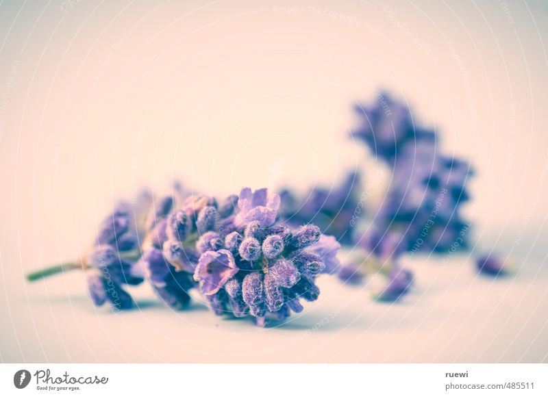 Lavendula angustifolia Kräuter & Gewürze Körperpflege Parfum Wellness Leben harmonisch Gartenarbeit Landwirtschaft Forstwirtschaft Umwelt Natur Pflanze Frühling
