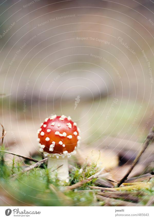 Wulstling Pflanze Herbst Moos Wald Zeichen Glück Farbe Inspiration träumen Irritation Wunsch Märchen Märchenwald Miniatur alice im wunderland Zauberei u. Magie