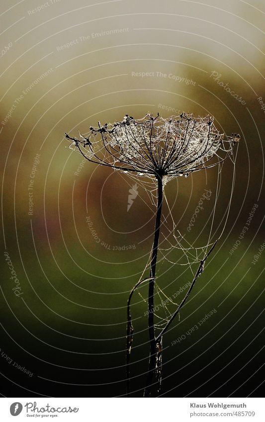 Kühles Nass Herbst Pflanze Gras Grünpflanze Wildpflanze Wiese braun grün Tau Spinngewebe Doldenblüte Farbfoto Außenaufnahme Nahaufnahme Menschenleer