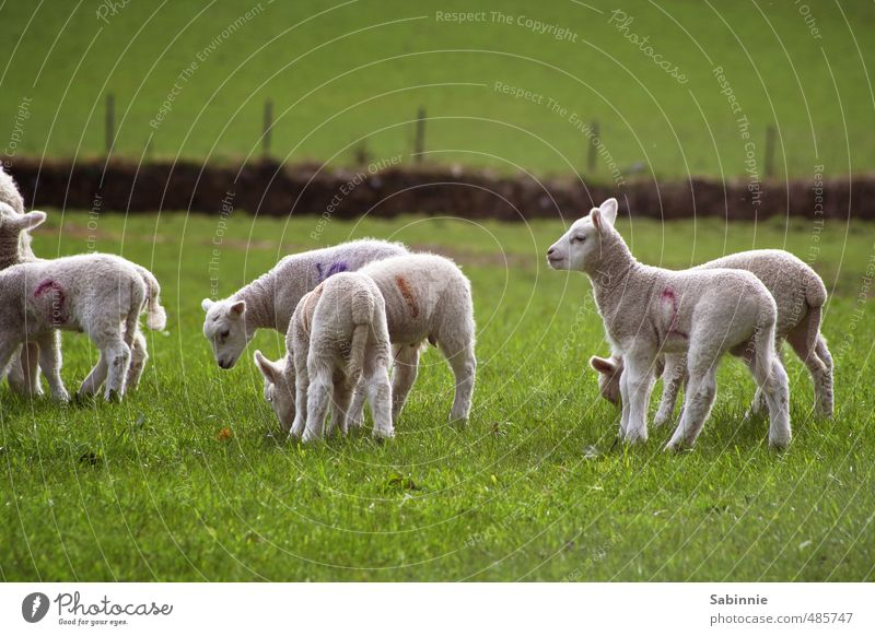 Schäfchen grün weiß Pflanze Tier Tierjunges Gras Spielen Zusammensein Fröhlichkeit niedlich Tiergruppe Landwirtschaft Neugier Ohr Fell Schaf