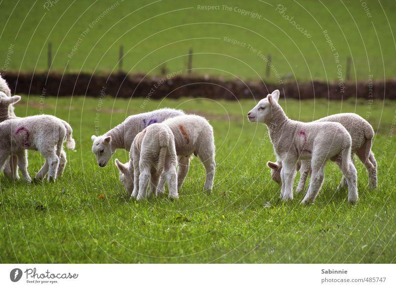 Schäfchen Pflanze Gras Tier Nutztier Schaf Schafherde Lamm Schafswolle Fell Wolle Tiergruppe Herde Tierjunges Spielen Fröhlichkeit Neugier niedlich grün weiß
