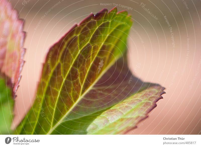 Herbstblatt Umwelt Natur Pflanze Tier Blume Blatt Grünpflanze Topfpflanze Garten ästhetisch schön grün rot Stimmung Farbfoto Außenaufnahme Detailaufnahme