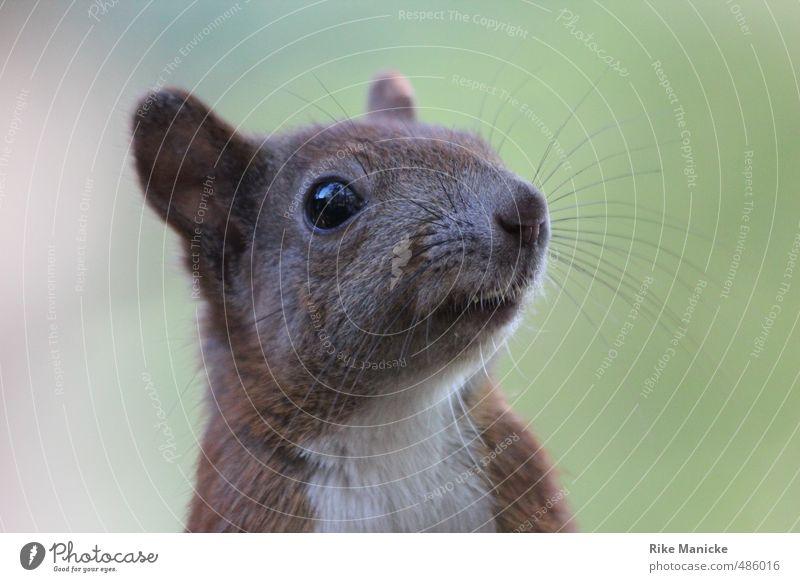 Aufmerksamer Beobachter Natur Sommer Wald Tier Wildtier Tiergesicht Eichhörnchen 1 beobachten kuschlig Neugier niedlich braun grün Tierliebe schön Wachsamkeit