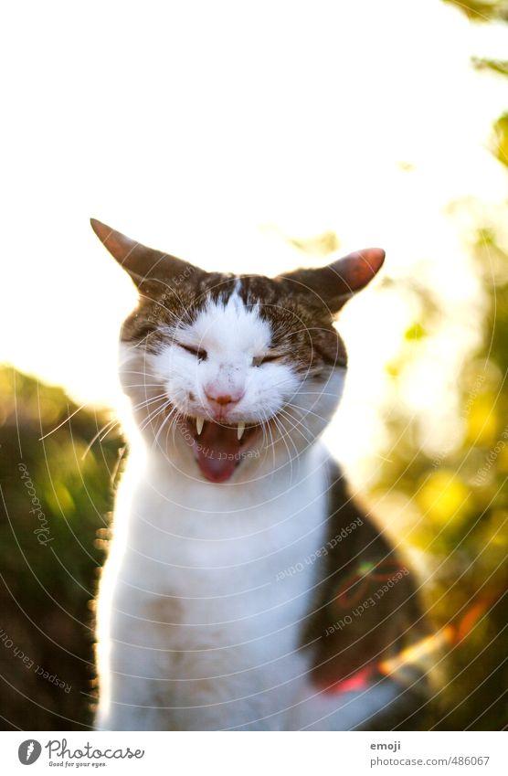 gnähähähä Tier Haustier Katze Tiergesicht Fell 1 lustig positiv gähnen lachen Farbfoto Außenaufnahme Textfreiraum oben Morgen Abend Gegenlicht Tierporträt