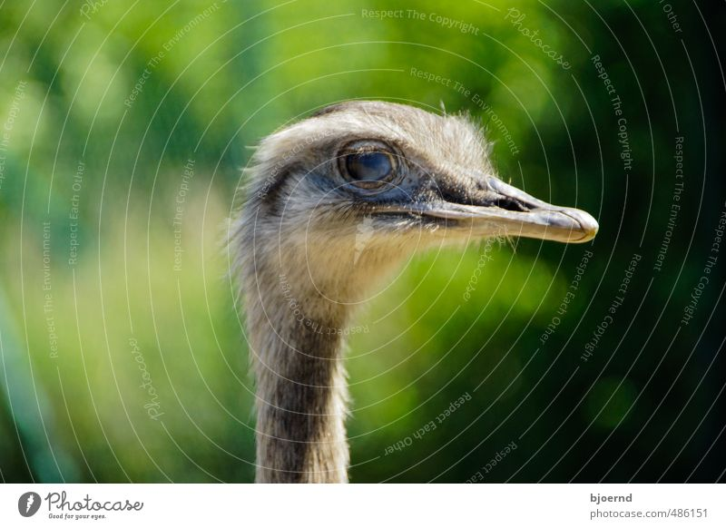 Der Nandu (Rhea americana) grün Sommer Sonne Tier Auge grau Vogel Wildtier Feder Abenteuer Tiergesicht Säugetier Schnabel Wildnis Pflanzenfresser Laufvogel