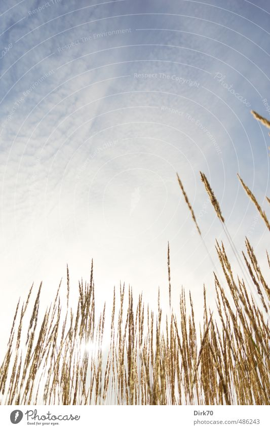 Sommertag im Gras Umwelt Natur Pflanze Himmel Wolken Sonne Sonnenlicht Schönes Wetter Wärme Halm Garten Park Wiese leuchten dehydrieren Wachstum Freundlichkeit
